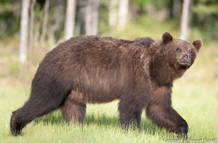 European Brown Bear, Ursus arctos arctos, Kuhmo, Finland, Lentiira, Vartius near Russian Border, walking across marshland, looking at camera,
