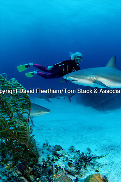 Caribbean Reef Sharks Carcharhinus perezi, Bahamas
