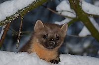Baummarder, Portrait eines Jungtieres im Winter bei Schnee, Baum-Marder, Edelmarder, Edel-Marder, Marder, Martes martes, European pine marten