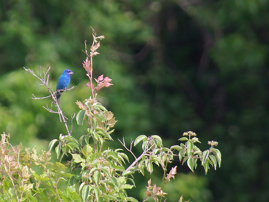 Male indigo bunting, Terry Lock and Dam, Arkansas