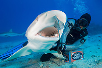 Diver feeding Caribbean reef shark. Carcharhinus perezii. St Maarten, Sint Maarten, Netherland Antilles, Caribbean Sea, Atlantic