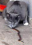 """""""Simba"""" the barn cat at Babylon Riding Center in Babylon plays with a snake it has caught on Thursday April 13, 2006. (Photo / Jim Peppler)."""