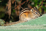 IMAGES OF THE YUKON,CANADA , WILDLIFE , CHIPMUNK