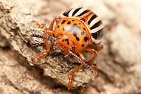 False Potato Beetle (Leptinotarsa juncta) on the trunk of a maple tree, West Harrison, Westchester County, New York