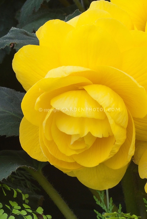 Begonia 'Golden Hind' tuberous (yellow slight frill) beautiful flower closeup