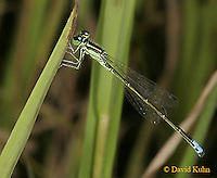 0826-06oo  Eastern Forktail Damselfly - Male - Ischnura verticalis - © David Kuhn/Dwight Kuhn Photography.