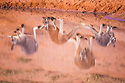 Australia,  NSW, Sturt National Park; reflection of red kangaroos (Macropus rufus) drinking at water hole; the red kangaroo population increased dramatically after the recent rains in the previous 3 years following 8 years of drought