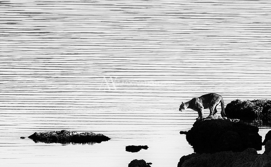 A female puma stands on a lake shore in southern Chile.