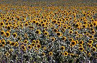 Field of Sunflowers Queensland