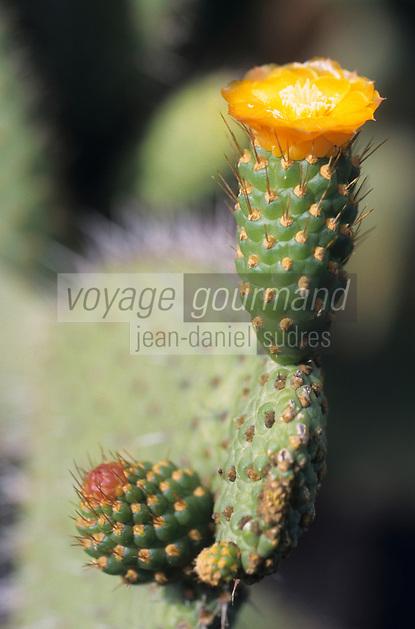 Europe/Espagne/Canaries/Lanzarote/Guatiza : Le jardin de cactus conçu par Cesar Manrique - Opuntia rubesceus