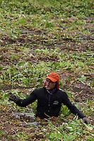 A contaminação dos lagos Bolonha e Água Preta favorece a proliferação de plantas aquáticas(macrófitas)  que criam  ilhas flutuantes cobrindo a superfície da água . Para limpeza, trabalhadores retiram as plantas e biólogos resgatam animais do Parque Ambiental de Belém..Utinga, Belém, Pará, Brasil.Foto Paulo Santos28/02/2013
