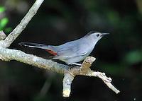 Gray catbird adult