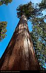 Giant Sequoia, Sequoiadendron giganteum, Mariposa Grove of Giant Sequoias, Yosemite National Park