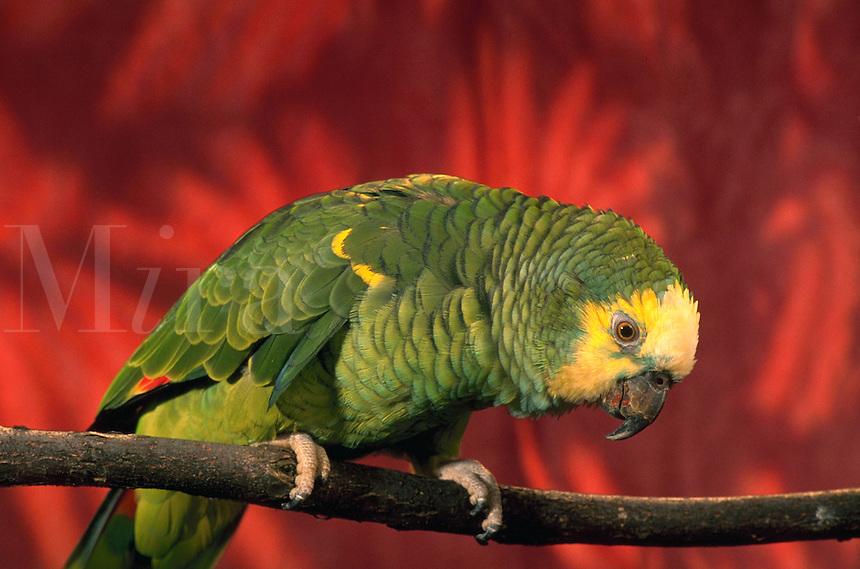 A portrait of a Bluefront Amazon Parrot.