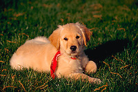 Golden retriever puppy lying in the grass.