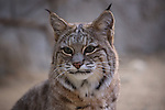 Photo Magnet Edit:  Bobcat