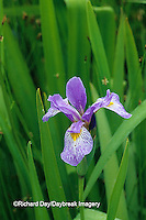 63899-05101 Blue Flag Iris (Iris virginica) in wetland, Marion Co.  IL
