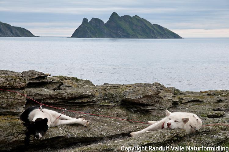 Grønlandshunder slapper av på Finnfjordnæringen på Sørøya. Kamøya og Lille-Kamøya i bakgrunnen. ---- Northern part of Sørøya. Islands Kamøya and Lille-Kamøya in the background.