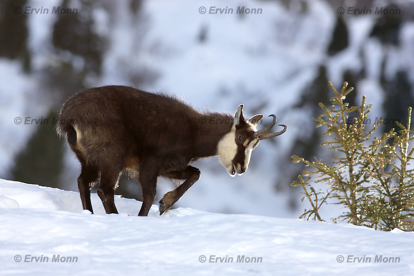 Chamois buck in the snow in front of a blurred background