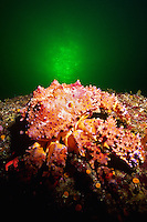 Puget Sound King Crab in the (Lopholithodes mandtii)