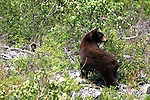 Photos of Bears in Montana & Wyoming