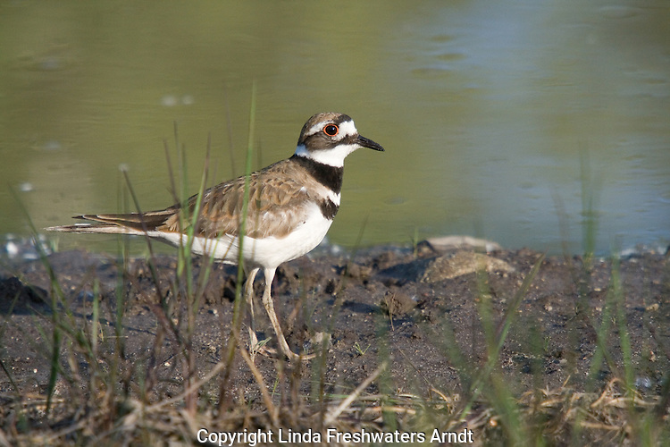 Killdeer (Charadrius vociferus) standing next to a pond