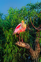 579008596 a wild roseate spoonbill ajia ajia perches in a tree along the texas gulf coast