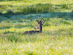 White tailed buck deer resting in meadow.