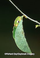 03029-011.15  Spicebush Swallowtail (Papilio troilus) caterpillar in Spicebush (Benzoin aestivale) leaf tube  Marion Co.  IL