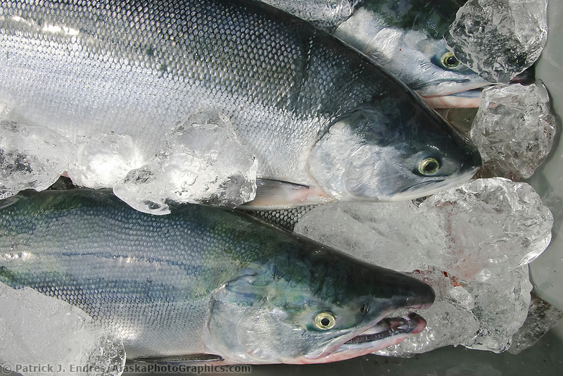 Commercial fishermen put recently caught red salmon on ice in Prince William Sound, Alaska