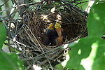Three newly hatched baby mocking birds hope for dinner while their sibling works on hatching from the egg.