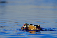 Wood Ducks (Aix sponsa) mating.  Pacific Northwest.