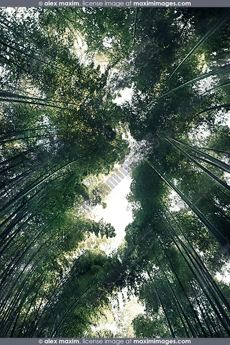 Arashiyama bamboo forest, dreamy skyward view of tree tops from below the converging stems, Kyoto, Japan. Image © MaximImages, License at https://www.maximimages.com