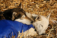 """Saturday  March 13 , 2010  While all of Gerald Sousa's dogs sleep on their straw at Galena ,  """"IPA"""" (L) uses """"Guiness""""  as a pillow"""