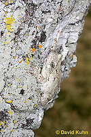 0202-0907  Eastern Gray Treefrog on White Bark (Grey Tree Frog), Hyla versicolor  © David Kuhn/Dwight Kuhn Photography