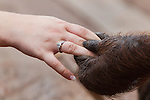 Orangutan hand holding a human hand (Pongo pygmaeus), Camp Leaky, Tanjung Puting National Park, Kalimantan, Indonesia