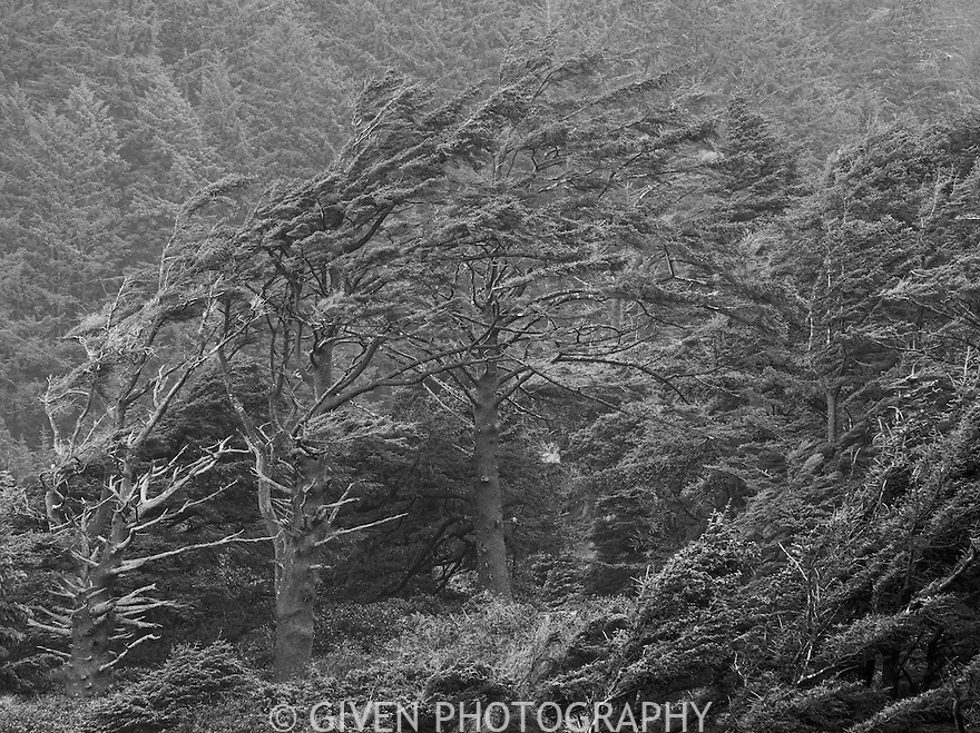 Wind-blown Sitka Spruce trees on the Oregon coast
