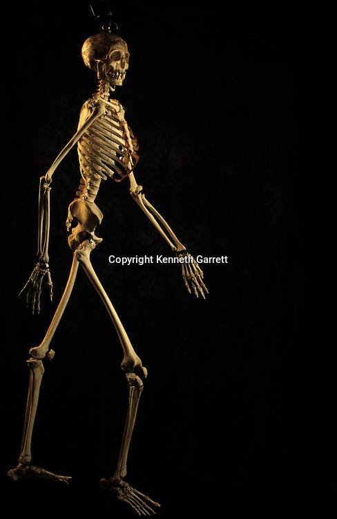 Scientific study Modern Human skeleton, George Washington University.