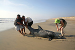 A large dolphin that got stranded on the beach during Hurricane Irene gets help by, from left, Brad Doerr, Crew Hayes (cq Crew), Jeff Hayes and Valerie Real along the beach in Avon, NC, on Sunday, Aug. 28, 2011.  The pulled the dolphin from near the base of the dunes into the water, and the dolphin swam away.  Photo by Ted Richardson