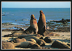 Bull elephant seals fight near a harem on beach,   FB 237