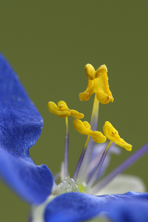 Virginia Dayflower. My goal here is to show the tiny structural parts (pistil, stamen, etc.) at the flowers heart..