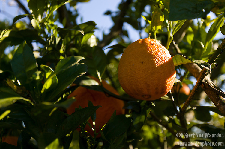 Orange grove in sourthern Portugal
