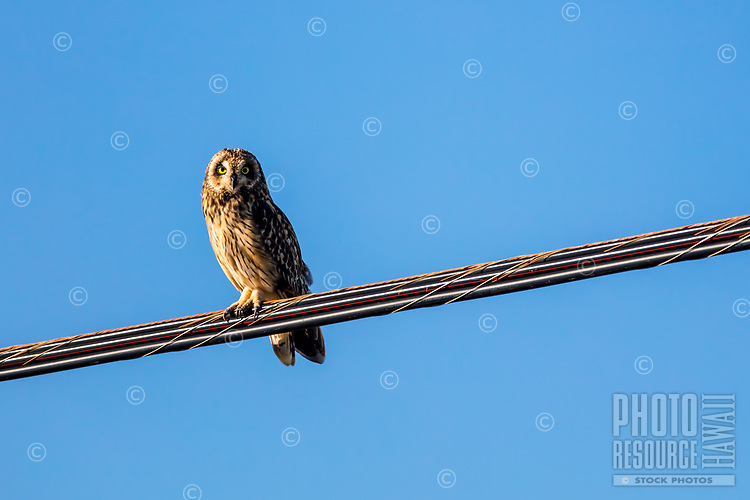 A pueo, or Hawaiian short-eared owl, sits on a power line high above Waimea Canyon Drive in Waimea, Kaua'i.