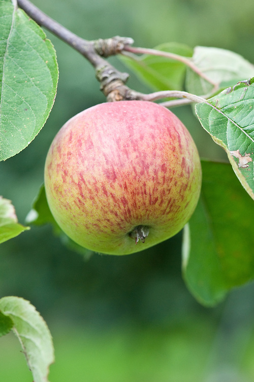 Cider apple 'Dabinett', mid September. A traditional English cider apple discovered by William Dabinett in the early 1900s in Middle Lambrook, Somerset.