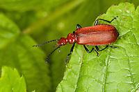 Rotköpfiger Feuerkäfer, Pyrochroa serraticornis, Cardinal Beetle, Cardinal Beetles, red-headed cardinal beetle