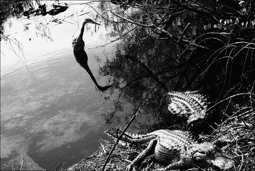 "Everglades<br /> From ""In the Wild"" series. Florida Everglades, 2010"