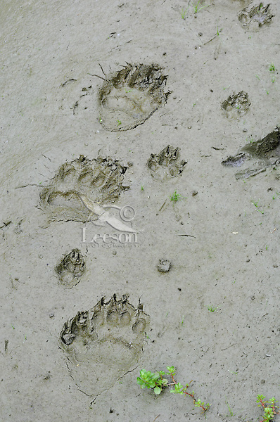 Black Bear  (Ursus americanus) tracks with coyote (Canis latrans) tracks in mud along pond edge.  Western U.S., summer..Most also display bird tracks on left side of bear tracks..