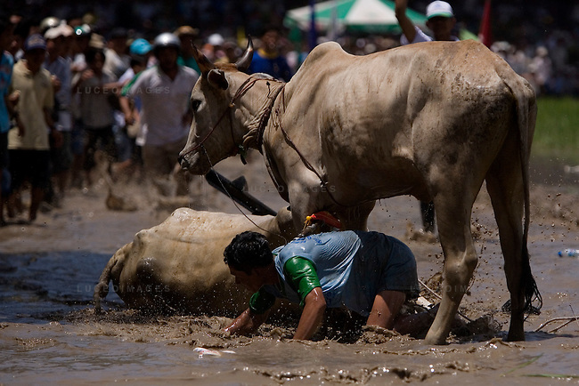 """Farmers race bulls during the annual """"Dua Bo - Cow Racing"""" competition in Tri Ton District in southern Vietnam near the Cambodian border on September 27, 2008.<br /> The bulls race in teams of two, controlled by jockeys who ride behind them on rake-like, wheelless buggies.<br /> The rectangular track, that is 160 meters long and 60 meters wide, is built on a rice paddy field and is filled with mud and water.  Each race includes three laps of the track totaling 1,320 meters until the finish line.<br /> The cow races brought 70 competitors and more than 30,000 spectators."""