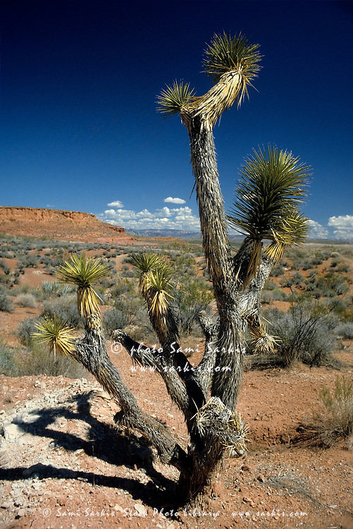 Cactus tree in the desert, Bryce Canyon National Park, Utah, USA.