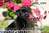 Bob, ANIMALS, REALISTISCHE TIERE, ANIMALES REALISTICOS, dogs, photos+++++,GBLA4324,#a#, EVERYDAY
